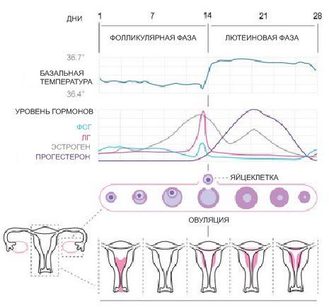менструальный цикл уменьшился