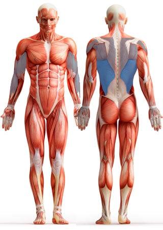 Мышцы, участвующие в подтягиваниях